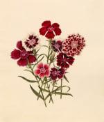Dianthus chinensis (I)