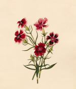 Dianthus chinensis (II)