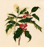 Ilex : Unidentified form by Caroline Maria Applebee