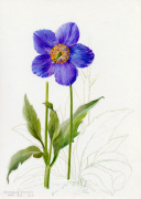 Meconopsis grandis by Lillian Snelling
