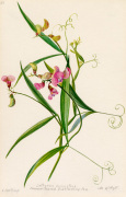 Lathyrus sylvestris, Narrow-leaved Everlasting Pea by Lillian Snelling