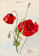 Papaveraceae. Papaver. P.Rhoeas. Common Poppy Corn Rose
