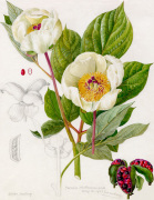 Paeonia whittmanniana by Lillian Snelling