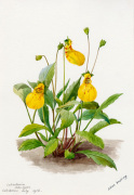 Calceolaria 'John Innes' by Lillian Snelling