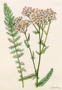 Achillea millefolium by Lillian Snelling
