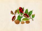 Sterculia monosperma Juglans regia