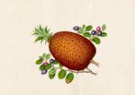 Ananas comosus Vaccinium myrtillus