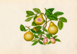 Malus prunifolia Psidium guajava
