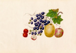 Vitis vinifera, Malus prunifolia, Pyrus communis, Sorbus megalocarpa by Wang Lui Chi