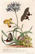 1. Polyanthes 2. Oxalis 3. Iris