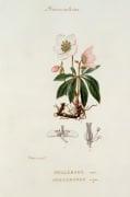 Hellebore noir, Helleborus niger by Pierre Jean Francois Turpin