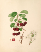 The Morello Cherry