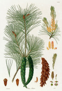 Pinus strobus by Worrner