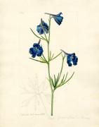 Delphinium grandiflorum var. chinensis by John Curtis
