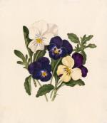 Viola tricolor I by Caroline Maria Applebee