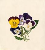 Viola tricolor II by Caroline Maria Applebee