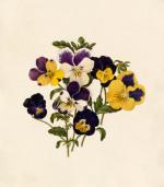 Viola tricolor III