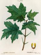 Acer saccharinum Erable a sucré