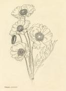 Papaver nudicaule by Cynthia Newsome-Taylor