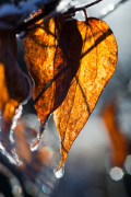 Frosty Leaf by Mark Bolton