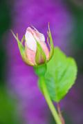 Rosa (Saint Cecilia) = 'Ausmit'