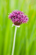 Allium atropurpureum by Lee Beel