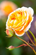 Rosa (Crown Princess Margareta) = 'Auswinter'