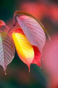 Prunus sargentii by Lee Beel