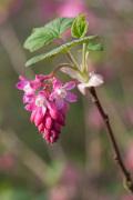 Ribes sanguineum 'Atrorubens' by Carol Sheppard