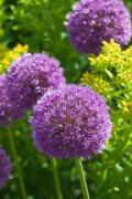 Allium 'His Excellency' (I)
