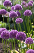 Allium 'His Excellency' (II)