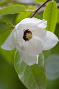 Magnolia wilsonii by Carol Sheppard