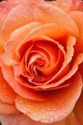 Rosa (Tatton) = 'Fryentice' by Carol Sheppard