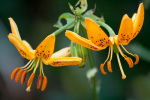 Lilium hansonii by Carol Sheppard