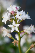 Menyanthes trifoliata by Carol Sheppard