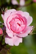 Rosa (Bonica) = 'Meidomonac' by Carol Sheppard