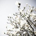 Explosion of Magnolia
