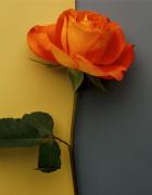 Orange Rose by Deborah Schenck