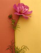 Pink Cosmos by Deborah Schenck