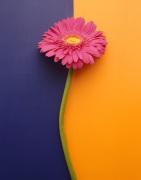 Pink Gerbera by Deborah Schenck