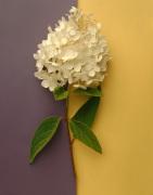 White Hydrangea by Deborah Schenck