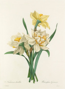 Narcisses doubles : Narcissus Gouani by Pierre Joseph Celestin Redouté