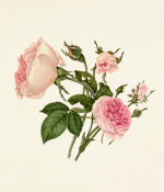 Rosa damascena 'Bella Donna', Rosa 'Mignon' by Caroline Maria Applebee
