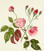 Rosa Chinensis by Caroline Maria Applebee