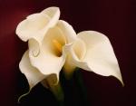 Beaulieu Calla Lilies by Deborah Schenck