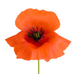 Simple Wild Poppy by Deborah Schenck