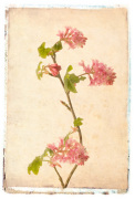 Vintage Flowering Currant by Deborah Schenck