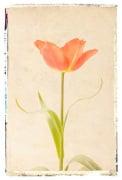 Vintage Tulip by Deborah Schenck