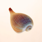 Fig Shell by Tom Artin