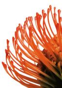 Orange Protea 4
